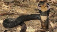 我国特有的中华眼镜蛇 如今越来越少 你见过吗
