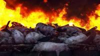 天津发生非洲猪瘟疫情 疫区封锁189头猪死亡