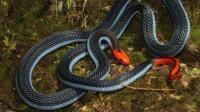 最神秘莫测的毒蛇 以其它蛇类为食 连眼镜蛇都敬它们三分