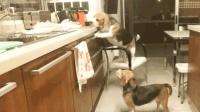 狗狗好聪明, 还知道弄张椅子来