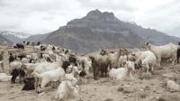 世界最搞笑的岛, 引入3只羊变成25万只, 差点被羊灭掉!