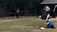 饲养员喂食 鸵鸟被激怒一脚将其打趴下 随后又疯狂追打踢踹
