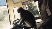 """猴子当""""代驾""""! 实拍: 印度客车司机让猴子把方向盘开车"""