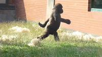 魔性步伐太火都传到国外了, 被一只猩猩学会了, 走起来有模有样