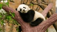 为什么没人偷熊猫? 没你想的那么简单, 这三个原因就让人不敢了!