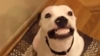这几种狗狗超爱笑, 老司机盘点, 笑起来心都暖化了