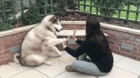 这几种狗狗看似凶猛, 却深得女孩喜欢