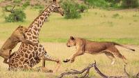 几只狮子目光锁定长颈鹿, 狮子轮番攻击长颈鹿