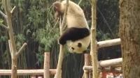 熊猫宝宝又把头卡住了, 奶爸前来施救, 差点没笑出猪叫声