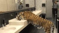 男子上厕所撞见老虎, 以为是恶搞, 3秒后男子的举动亮了!