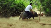 搞笑农村老表骑猪视频, 一看就是新手, 老司机根本不用偷袭!