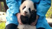 当迷你熊遇上熊猫plus, 好奇宝宝上线, 少女心都被萌化了