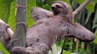 世界上最懒的动物, 一周只拉一次, 粑粑是体重三分之一