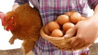 世界上是先有鸡, 还是先有蛋? 英国科学家实验找到答案!