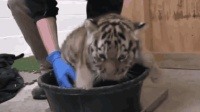 三只小老虎看着镜头的样子萌萌的, 好想抱一只回家, 大猫咪一样