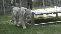 送给老虎一张床, 老虎会怎么做呢, 依旧威风八面