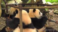 大熊猫: 秋千成为了滚滚们的餐桌, 这个时候就十分考验体重啦