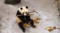 熊猫为了存私房粮, 把嘴巴塞得满满当当的, 真是一枚十足的吃货