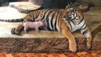 小猪宝宝饿了, 跑到老虎园找母老虎要奶喝, 胆子真肥!