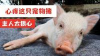 好心疼这只宠物猪, 被主人狠心抛弃在路边, 它的后腿受伤很严重