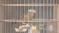 画眉鸟头上带着伤, 依然在笼中愉快地唱歌, 这是什么情况呢?