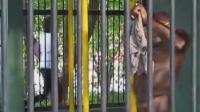 大猩猩抢了游客的衣服, 自己穿上, 无语了!