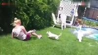 眼看女主人就要被大鹅扭到了, 狗狗勇敢的冲向了大鹅, 这狗没白养