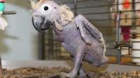这鹦鹉自尊心太强, 主人就训了几句, 就把自己身上的毛拔光了!