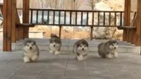 四只可爱的小阿拉斯加外出散步, 太呆萌了!