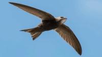 """谁说""""无脚鸟""""不存在? 它可以在空中睡觉, 持续飞行10个月不落地"""