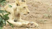 这只刚出生小鹿真幸运, 母狮子教走路, 长大以后还会走鹿步吗?