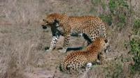 两只猎豹在野外相遇, 少不了一场厮杀, 网友: 谁实力更胜一筹?