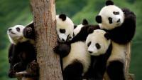 世界上唯一存活的大熊猫三胞胎, 熊团子们现在的生活, 实在太萌了