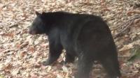 """黑熊捕食梅花鹿, 果然是""""一猪二熊三虎""""的实力"""