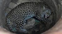 豹子不慎掉入深井一脸生无可怜, 印度人齐心协力将它救出!