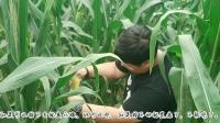 想吃煮玉米了去地里摘, 去了发现都老了教你们如何区分那些可以吃
