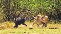 太嚣张, 狒狒袭击落单母狮, 本以为胜券在握, 下一秒狒狒懵了!