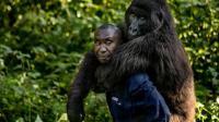 艾滋病最早出现在非洲大猩猩身上, 怎么传到人身上的? 看完很心疼