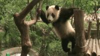 熊团子挑战高难度爬树, 游客为它捏了一把汗, 真是个灵活的胖子