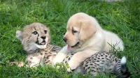 狗狗和小猎豹一起养, 长大后活成了狗样! 网友: 简直萌翻了