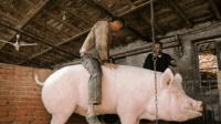 辽宁村民养了一只猪中巨无霸