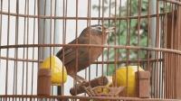 画眉鸟在愉快地唱歌, 我在静静地听!