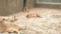 汪星人的交际能力不佩服不行, 直接打进狮子内部睡觉