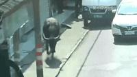 """千斤""""疯牛""""横冲直撞致9伤 警方连开4枪击毙"""