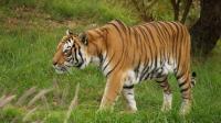 伦藤博尔老虎T24, 这体型太强悍了, 狮子看了绝对逃跑