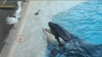 虎鲸吐出小鱼给池边小鸟吃, 它真的这么好心吗? 原来全是套路!