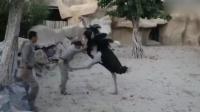 腿长了不起!鸵鸟仗着优势 追着工作人员连环踹
