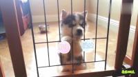 小奶狗被关在笼子出不来, 这小表情看的心都要萌化了!