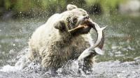 棕熊头脑简单? 看了棕熊如何捕捉大马哈鱼, 就知道它的厉害之处