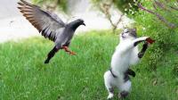 猫的速度有多快, 鸽子还来不及起飞就被抓, 鸽子: 你去抓你的老鼠